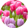 Search plant encyclopedia for bulbs