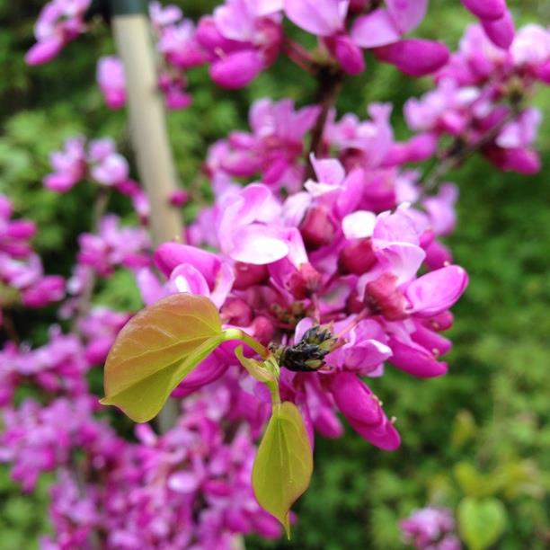 Chinese Redbud in the GardenTags plant encyclopedia