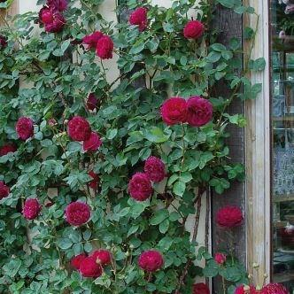 Falstaff rose pictures
