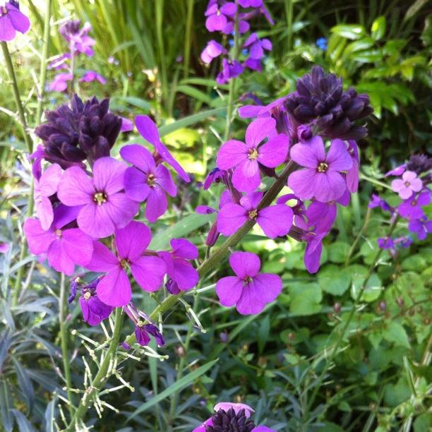 Wallflower Bowles Mauve in the GardenTags plant encyclopedia