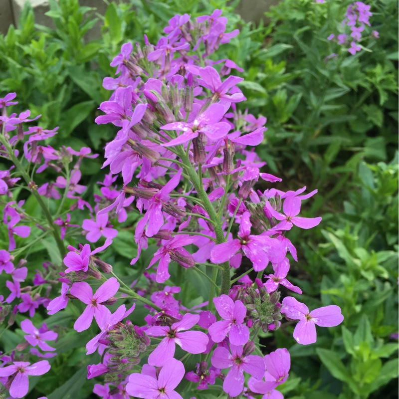 Phlox in the GardenTags plant encyclopedia