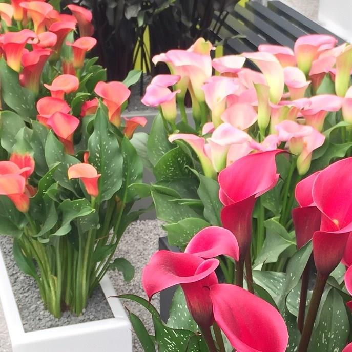 Calla Lily in the GardenTags plant encyclopedia