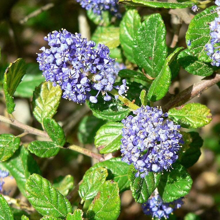 Californian Lilac in the GardenTags plant encyclopedia