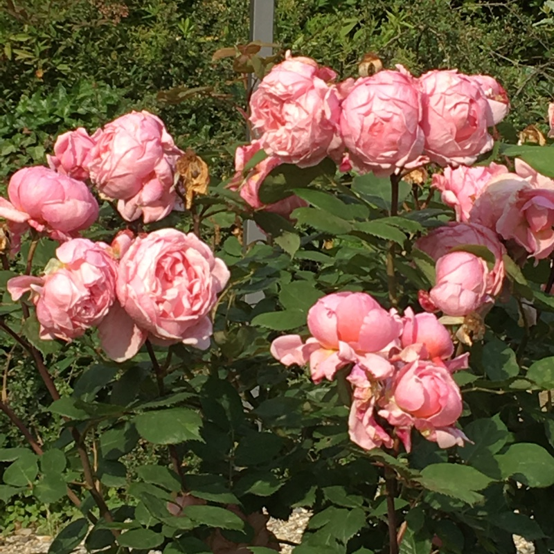 Rose Brother Cadfael (Shrub) in the GardenTags plant encyclopedia