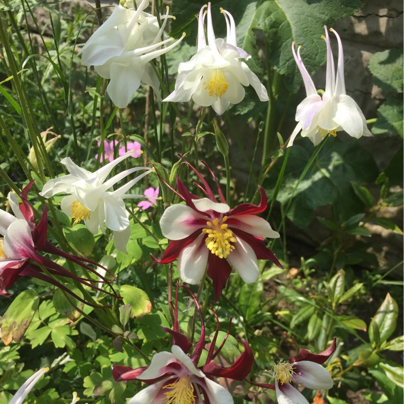 Columbine in the GardenTags plant encyclopedia