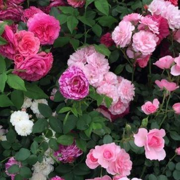 Rose (Floribunda) in the GardenTags plant encyclopedia