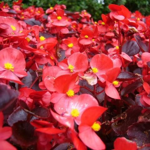 Begonia in the GardenTags plant encyclopedia