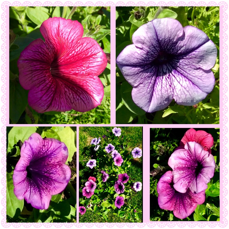 Petunia in the GardenTags plant encyclopedia
