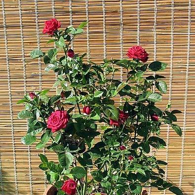 Rose (Miniature) in the GardenTags plant encyclopedia