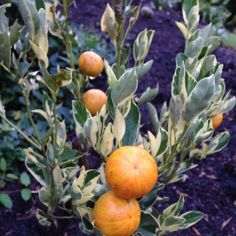 Citrus Tree in the GardenTags plant encyclopedia