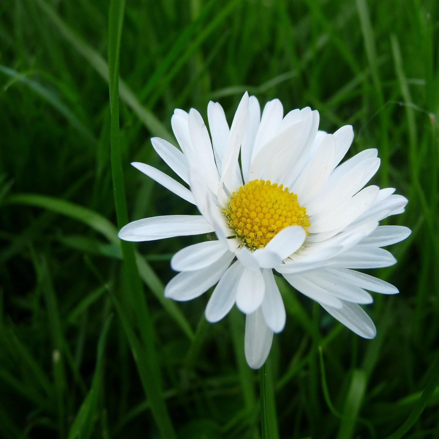 Common daisy in the GardenTags plant encyclopedia