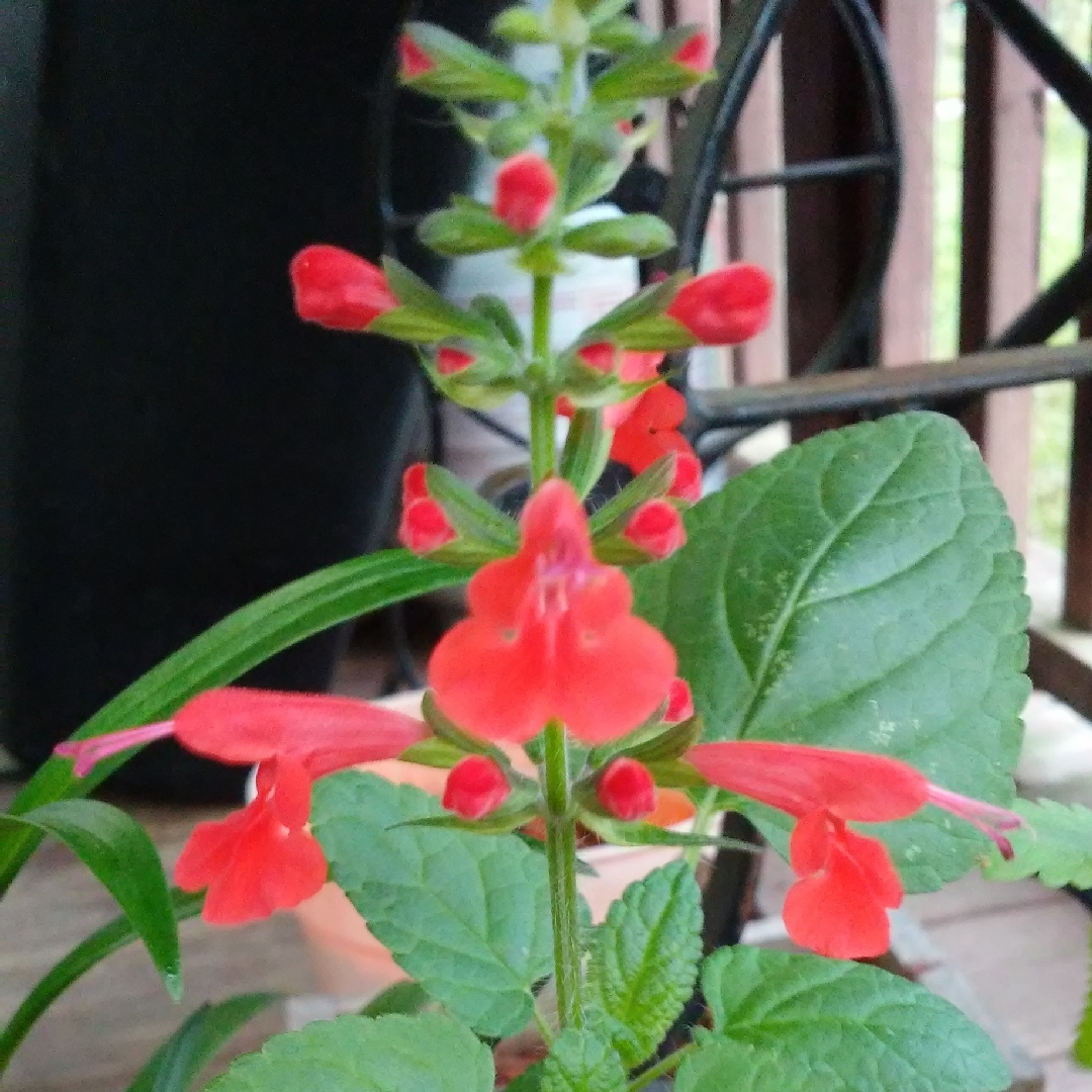 Tangerine Sage in the GardenTags plant encyclopedia