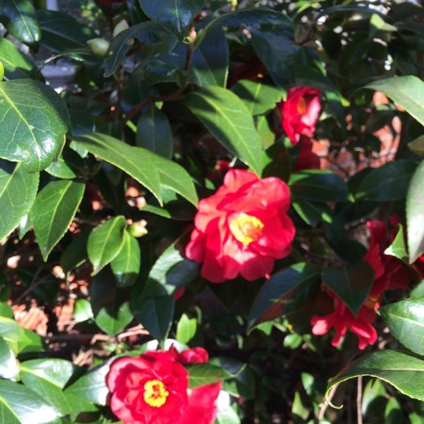 Camellia Greensboro Red in the GardenTags plant encyclopedia