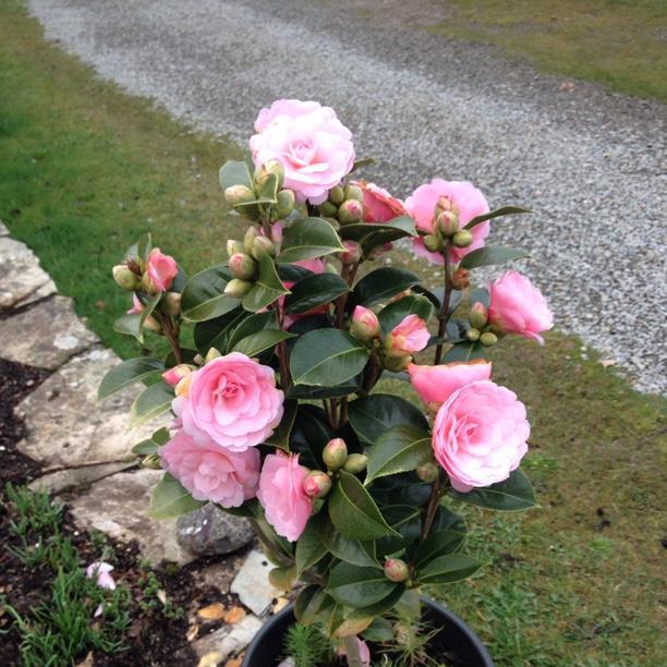 Camellia williamsii 'E G Waterhouse', Camellia 'E G ... on