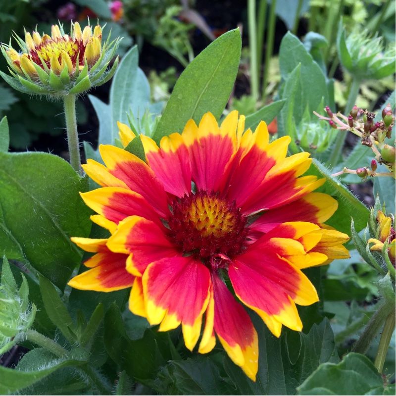 Blanket Flower Arizona Sun in the GardenTags plant encyclopedia
