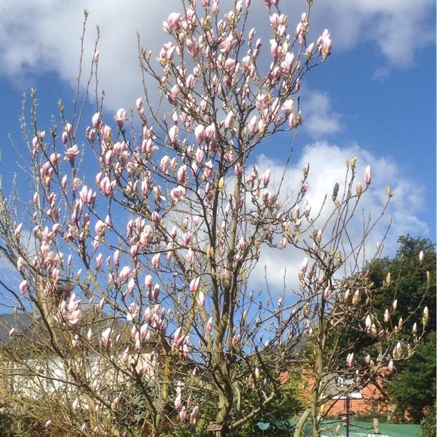 Magnolia in the GardenTags plant encyclopedia