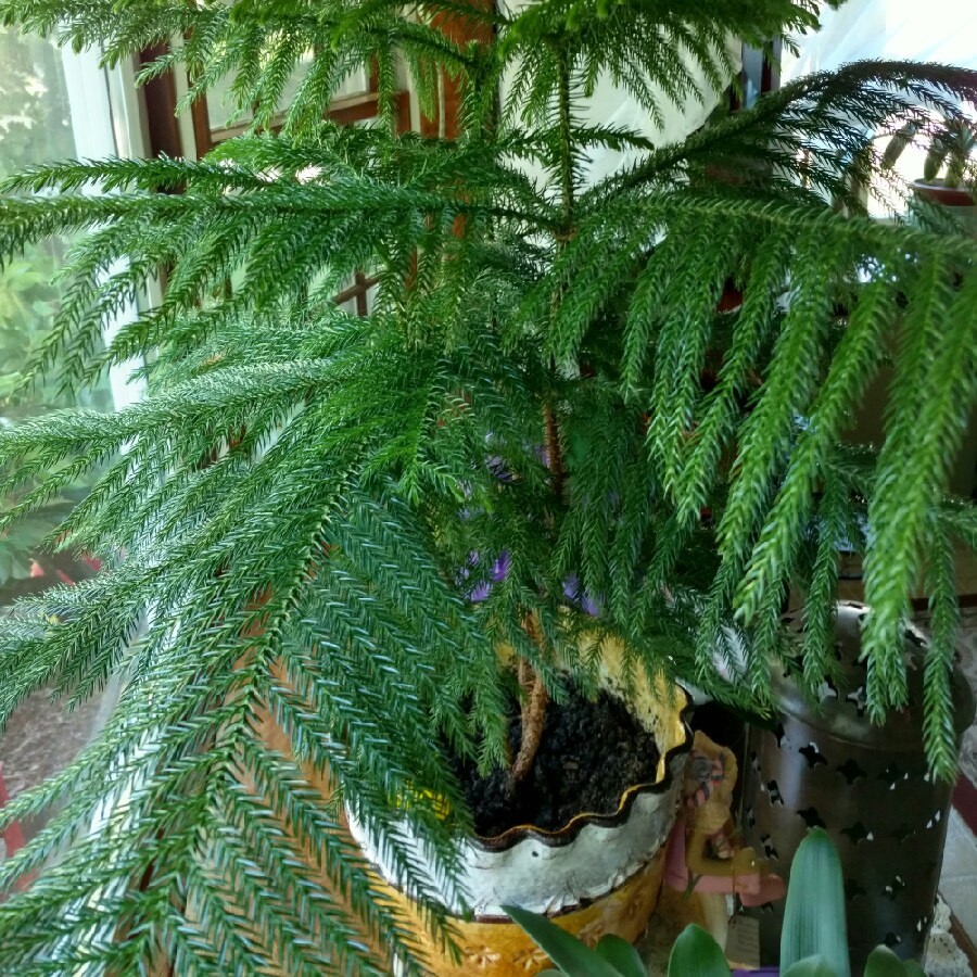 Norfolk Island Pine in the GardenTags plant encyclopedia