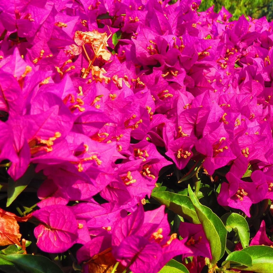 Bougainvillea in the GardenTags plant encyclopedia