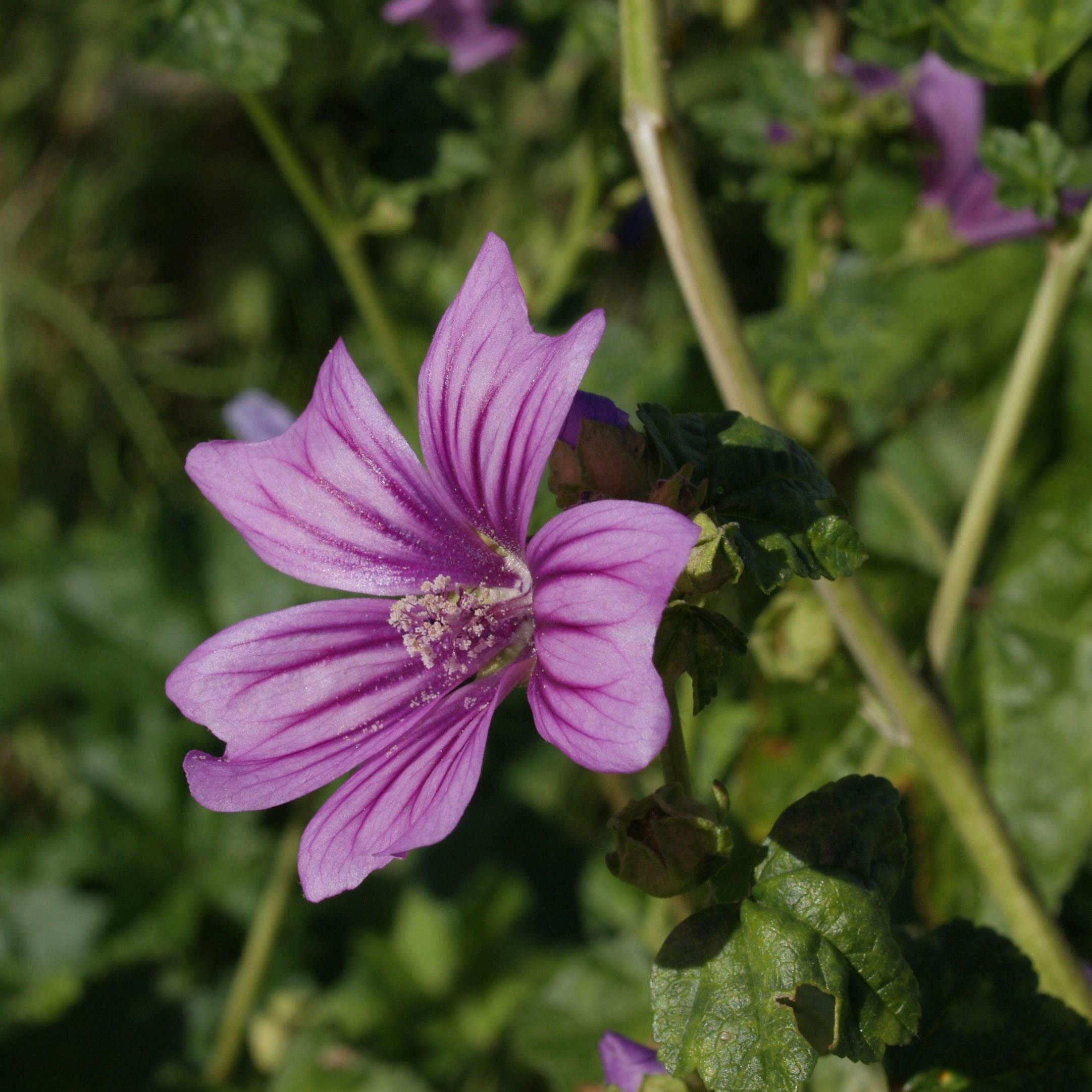 Mallow in the GardenTags plant encyclopedia