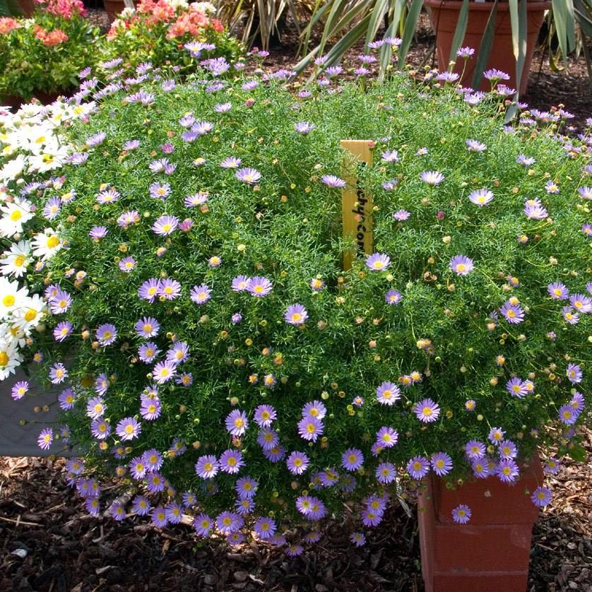 Swan River Daisy in the GardenTags plant encyclopedia