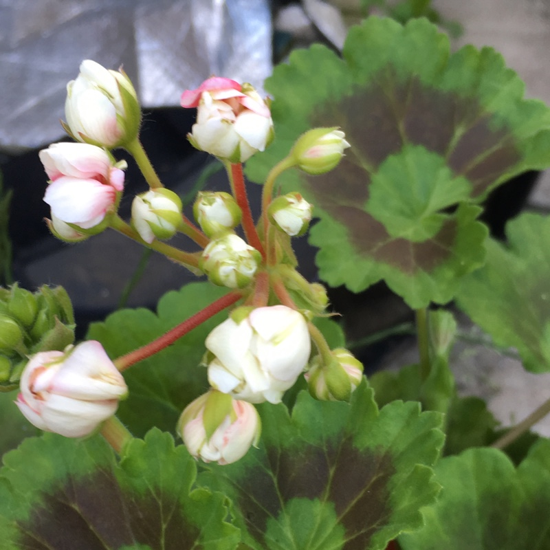 Pelargonium Apple Blossom (Zonal) in the GardenTags plant encyclopedia