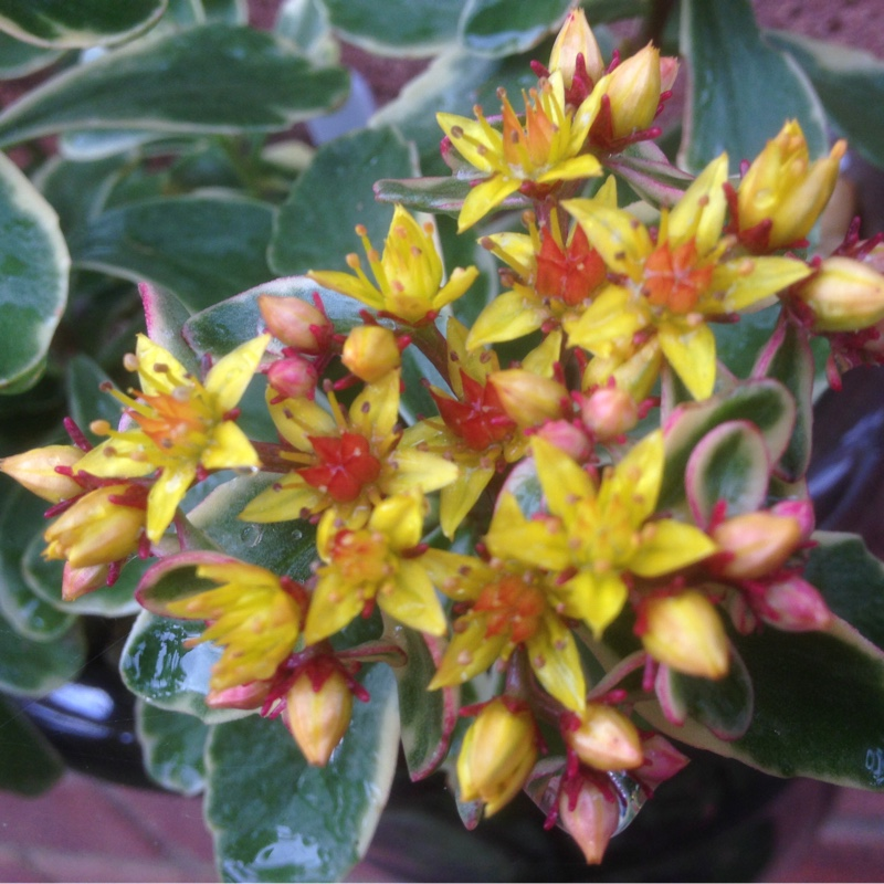 Variegated orange stonecrop in the GardenTags plant encyclopedia