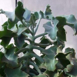 Kalanchoe Beharensis in the GardenTags plant encyclopedia