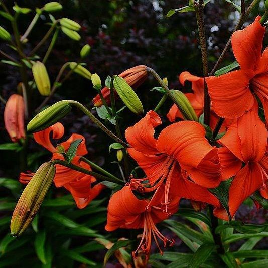 Day Lily in the GardenTags plant encyclopedia