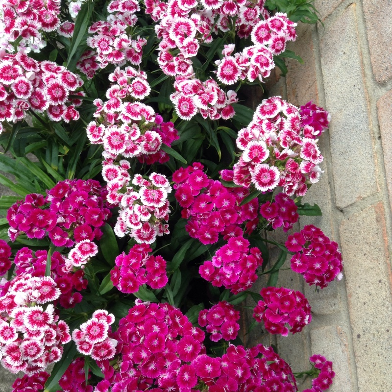 Sweet William in the GardenTags plant encyclopedia