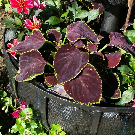 Coleus Chocolate Mint in the GardenTags plant encyclopedia