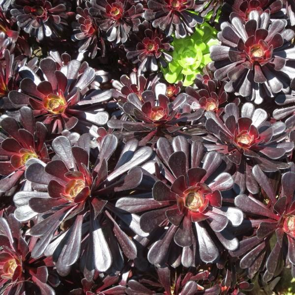 Aeonium Zwartkop in the GardenTags plant encyclopedia