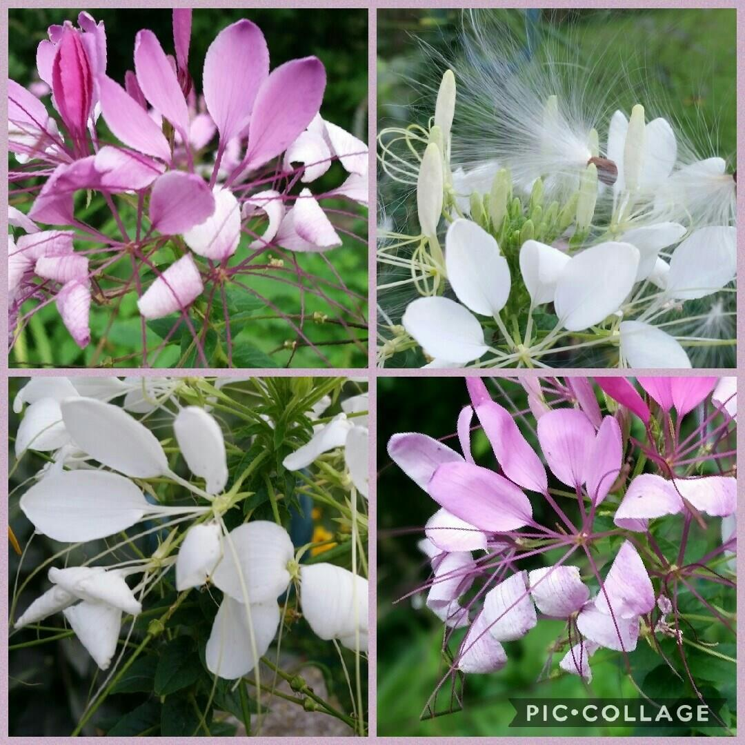 Cleome Colour Fountain in the GardenTags plant encyclopedia