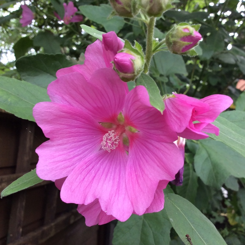 Tree Mallow Rosea in the GardenTags plant encyclopedia