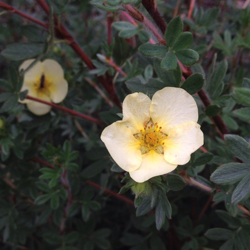 Shrubby cinquefoil  Elizabeth in the GardenTags plant encyclopedia