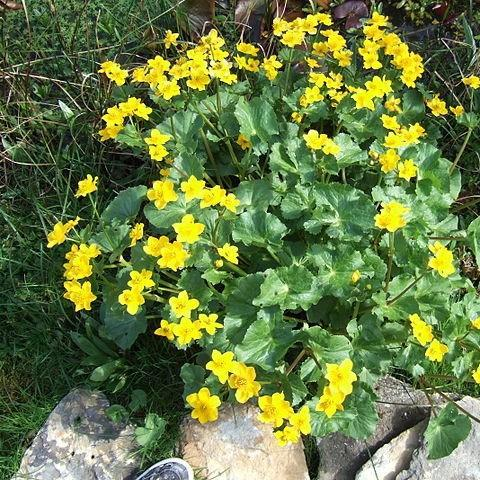 Marsh marigold in the GardenTags plant encyclopedia