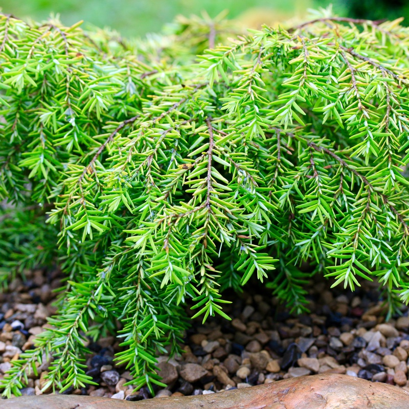 Eastern Hemlock Jeddeloh in the GardenTags plant encyclopedia