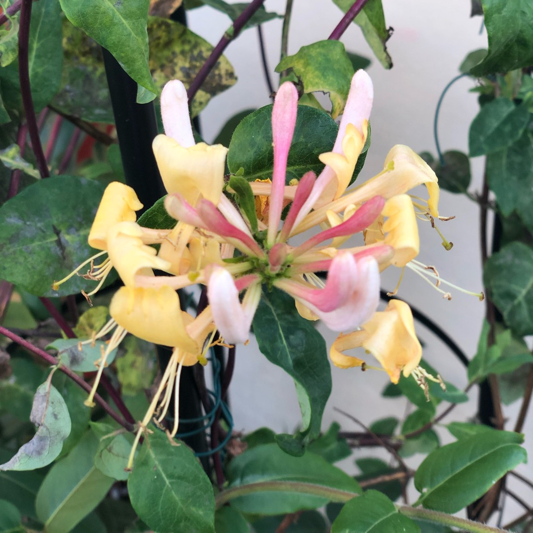 Honeysuckle Belgica in the GardenTags plant encyclopedia