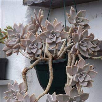 Graptopetalum Ghost plant in the GardenTags plant encyclopedia