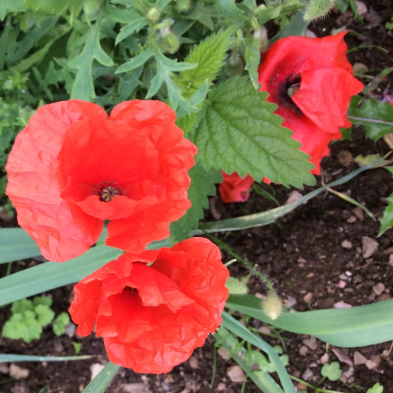 Flanders Poppy in the GardenTags plant encyclopedia
