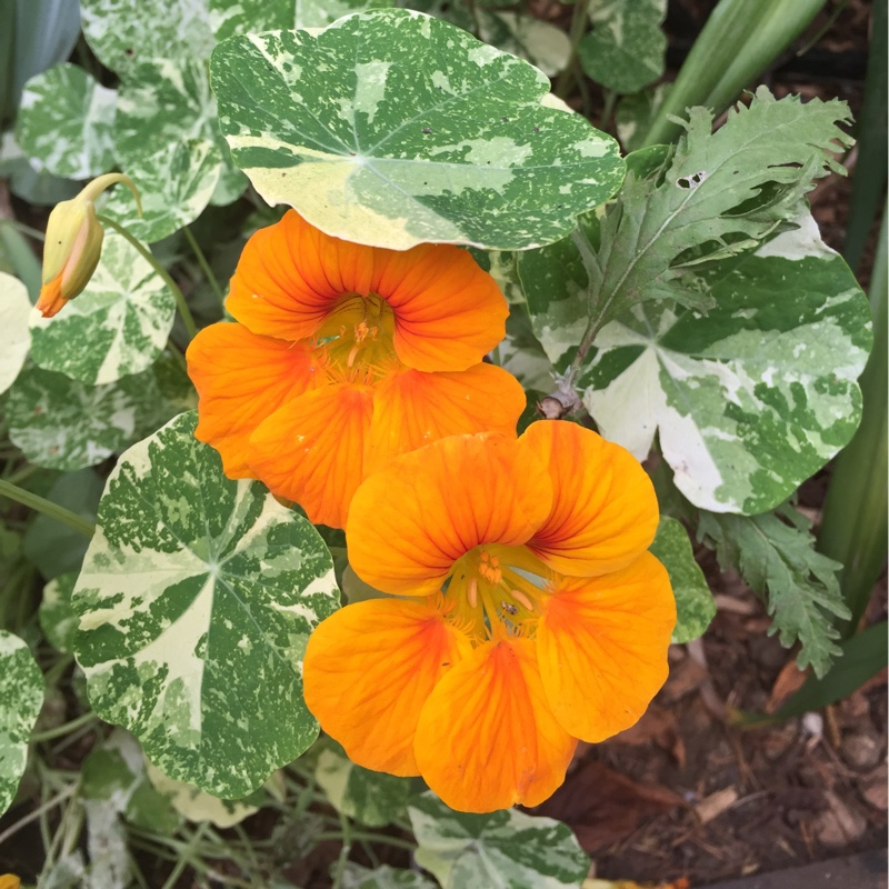 Nasturtium Tip Top Alaska Mix in the GardenTags plant encyclopedia