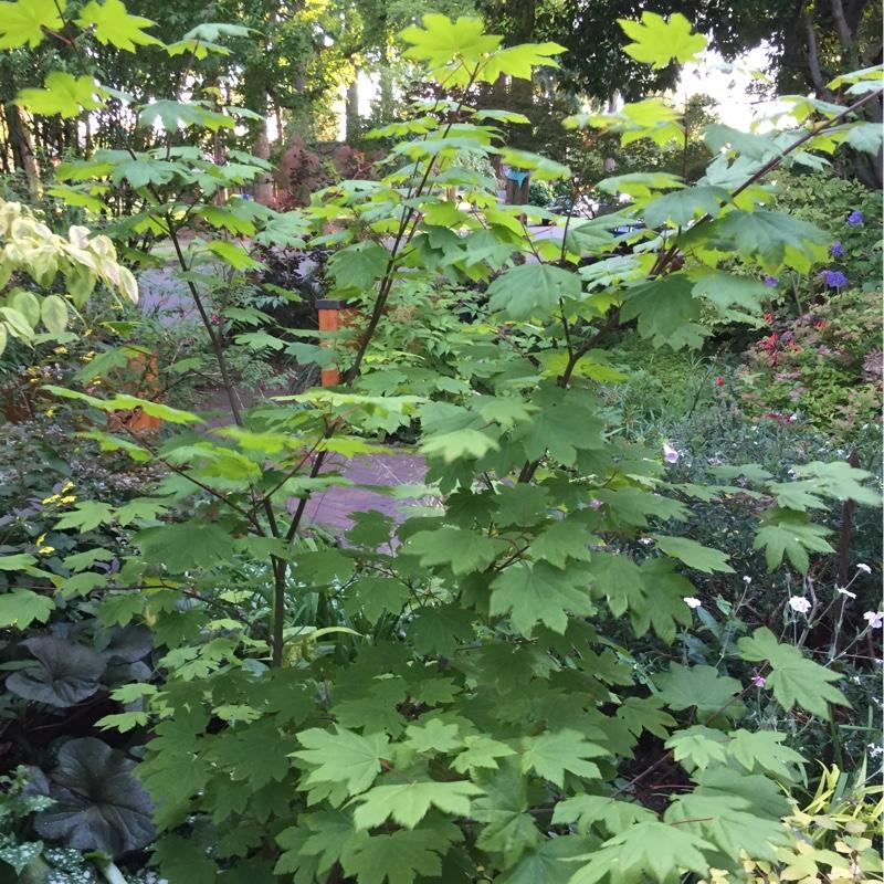 Acer Circinatum Vine Maple In Gardentags Plant Encyclopedia