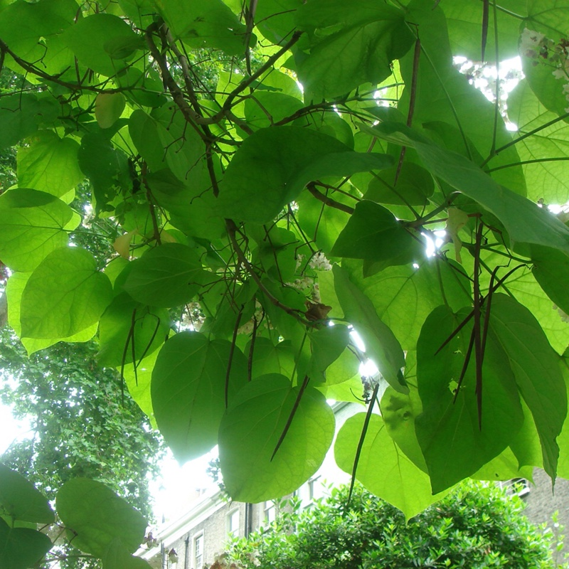 Indian Bean Tree in the GardenTags plant encyclopedia