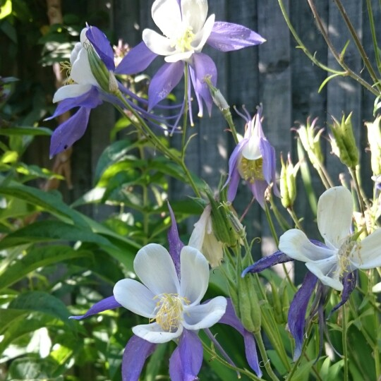 Columbine Blue Star in the GardenTags plant encyclopedia