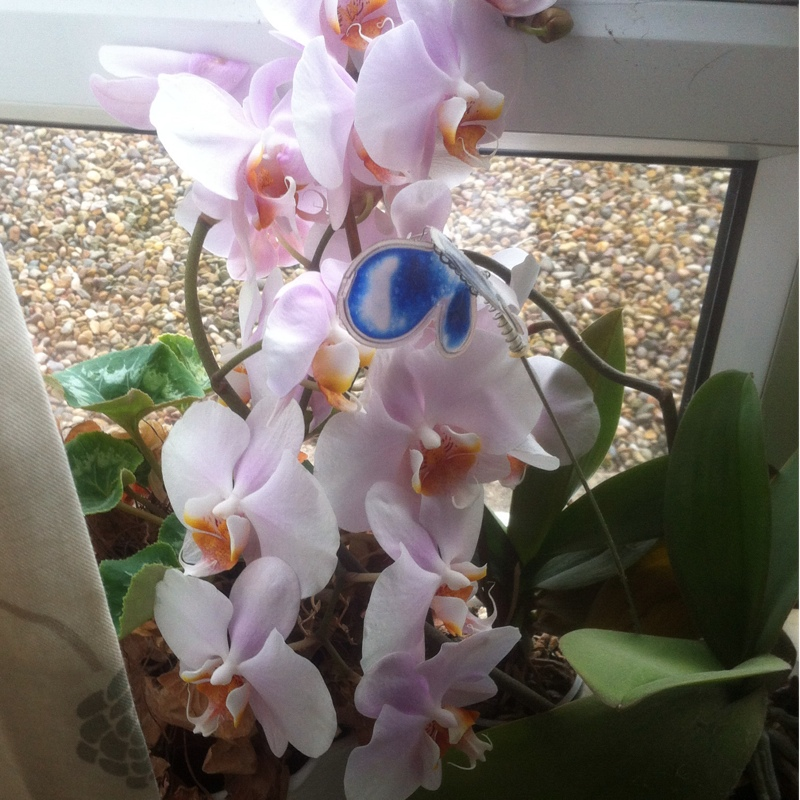 Moth Orchid in the GardenTags plant encyclopedia