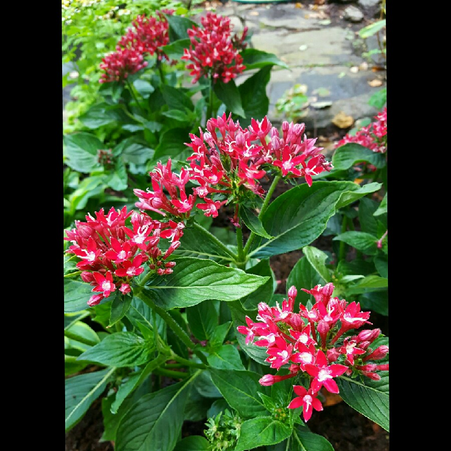 Pentas Starcluster Red in the GardenTags plant encyclopedia