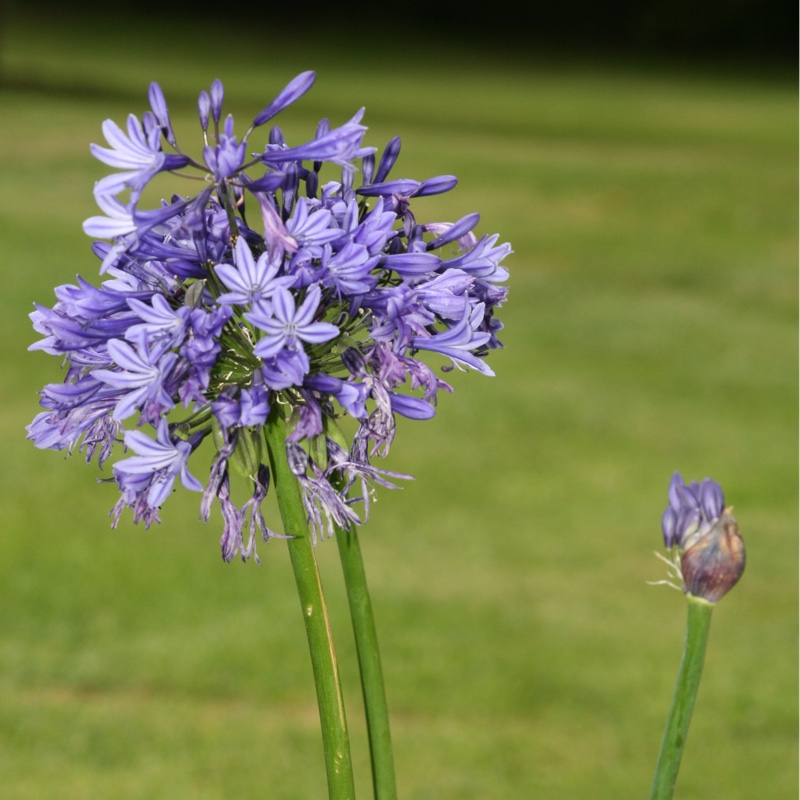 African Lily Midnight Star in the GardenTags plant encyclopedia