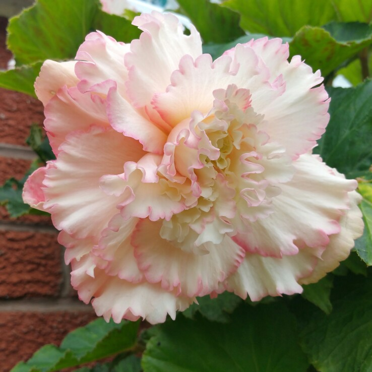 Begonia Double and Fringed Samba (Mix) in the GardenTags plant encyclopedia
