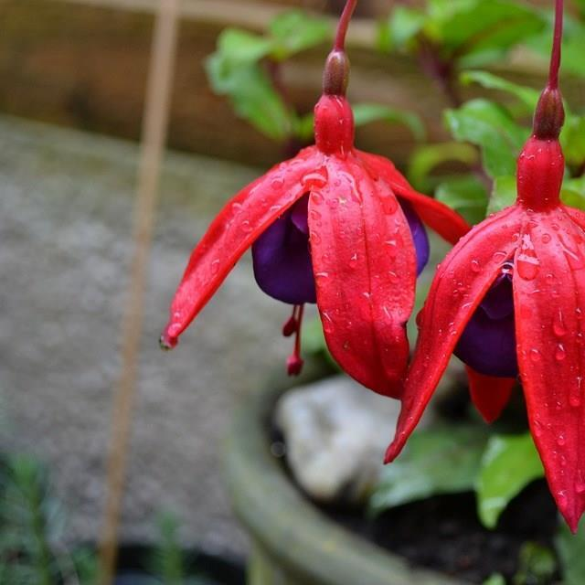 Fuchsia in the GardenTags plant encyclopedia