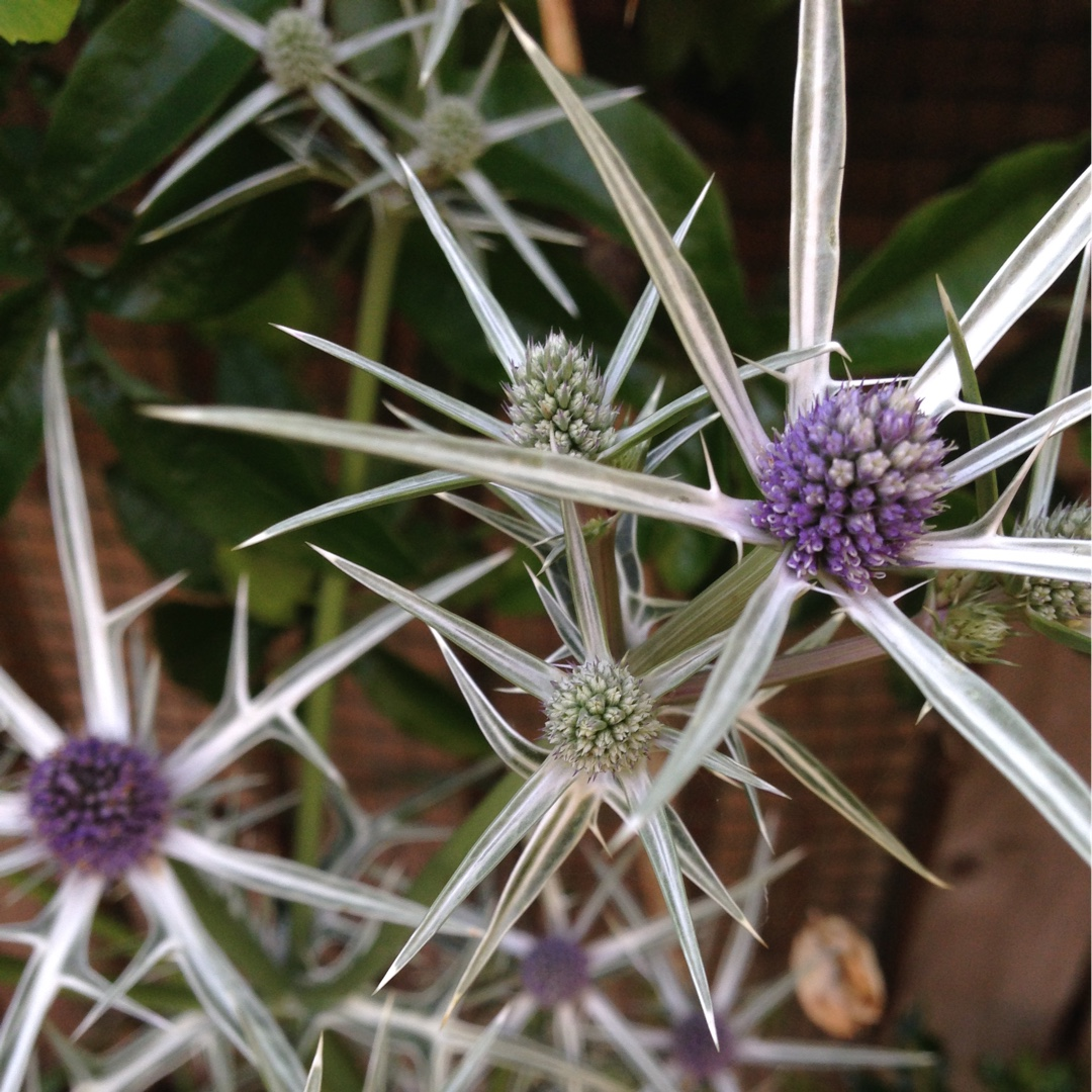 Variable-leaved Sea Holly in the GardenTags plant encyclopedia