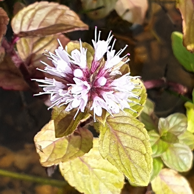 Water Mint in the GardenTags plant encyclopedia
